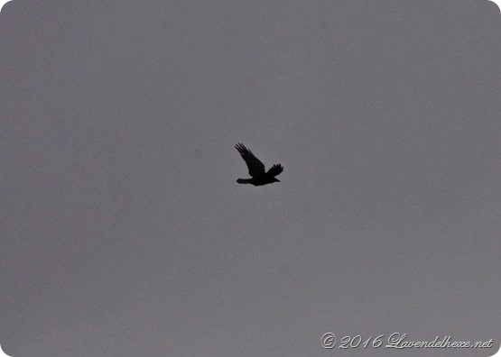 vögel 051a