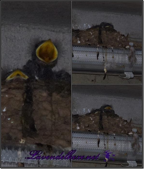 junischwalben