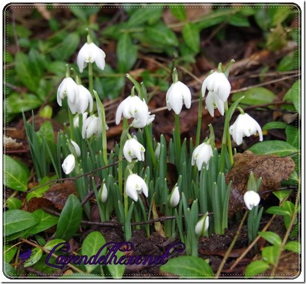 februarschneeblumen2