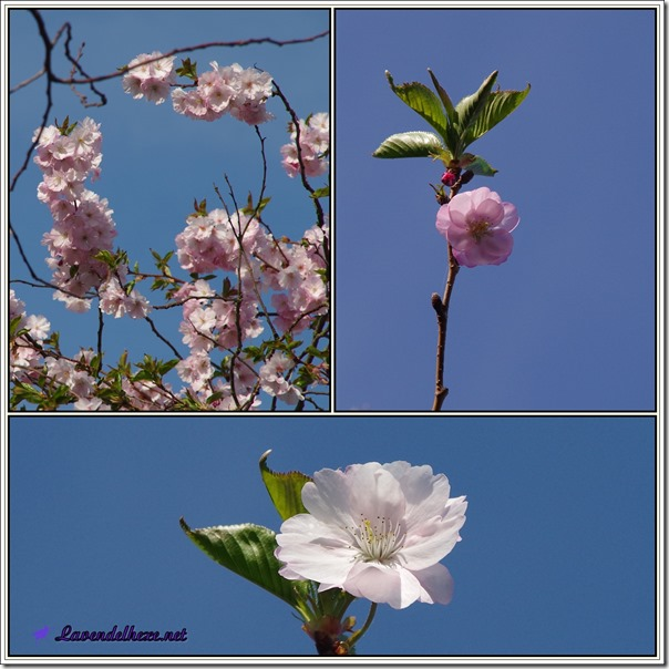 aprilrosa1