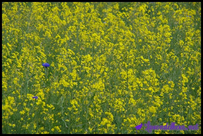 kornblume im rapsfeld