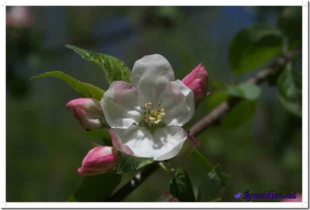 maiapfelblüte