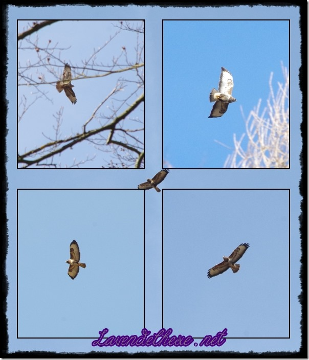 februarraubvogel