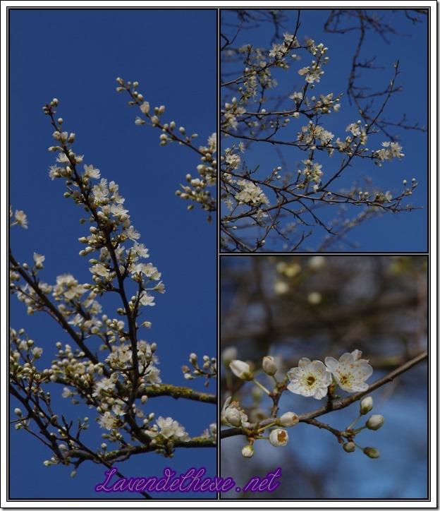 märzblüten4