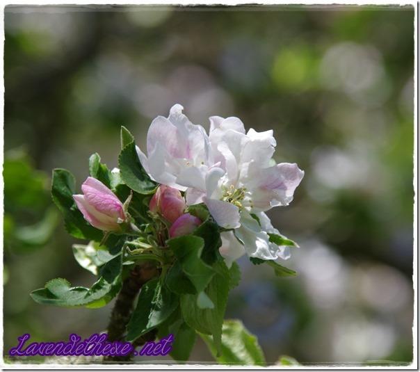 april apfelblüte 1