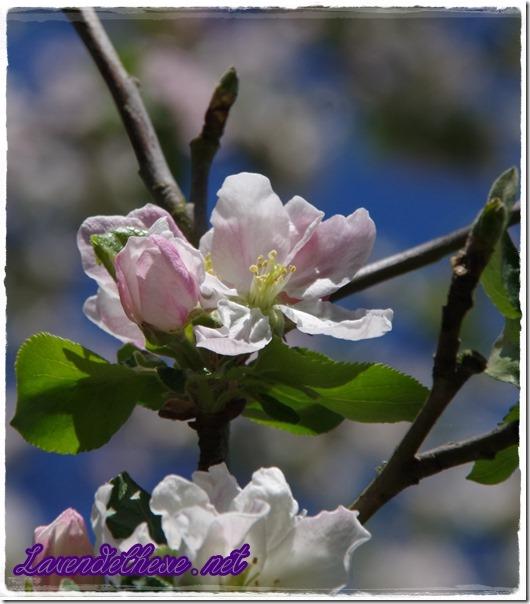 april apfelblüte 2