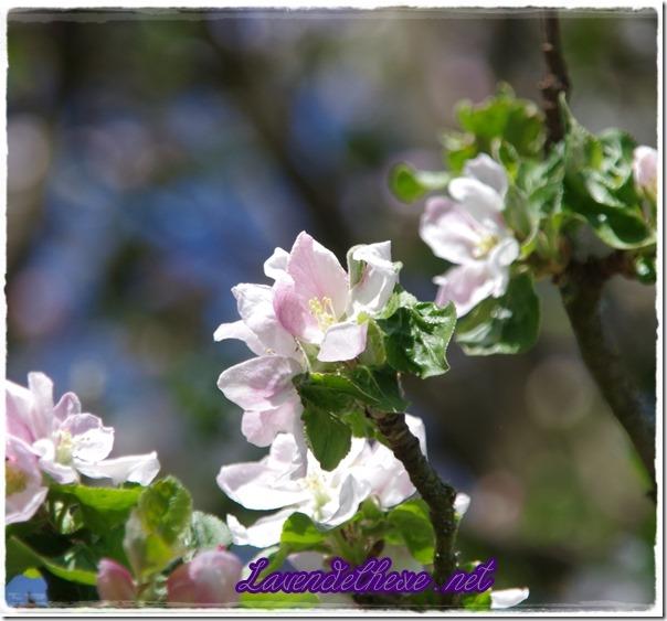 april apfelblüte 3