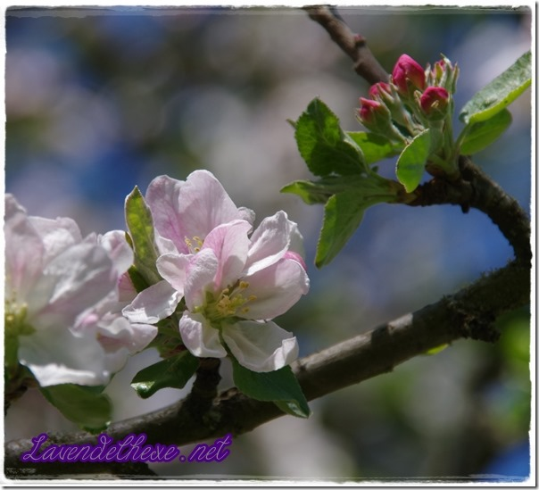 april apfelblüte 4