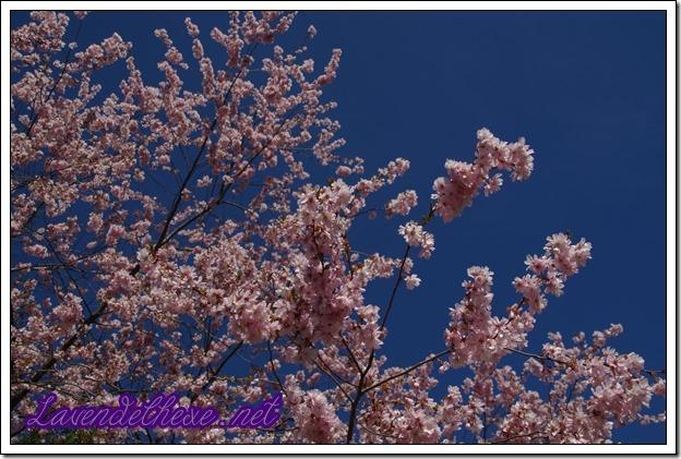 april rosa blueten 1
