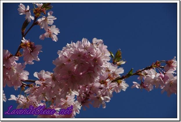 april rosa blueten 2