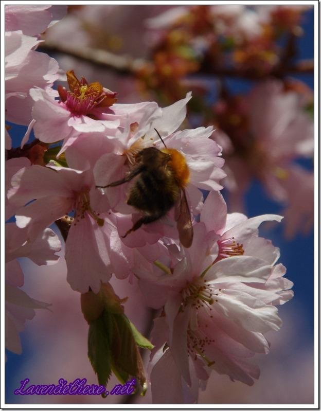 april rosa blueten 3