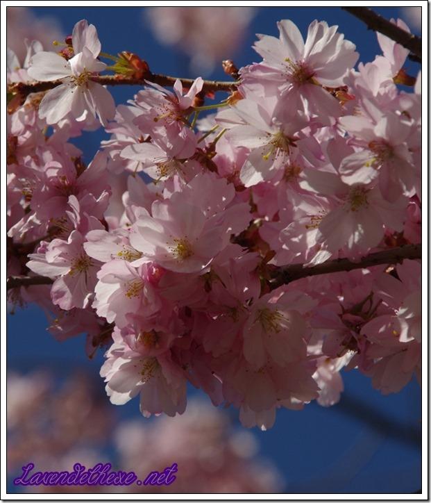 april rosa blueten 4