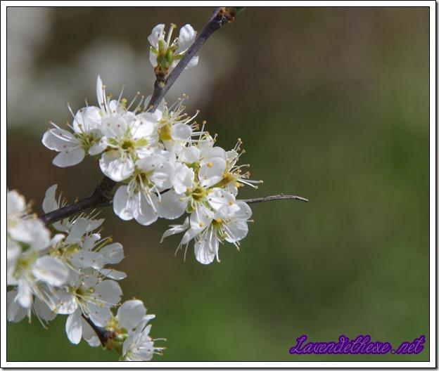 aprilblüten3