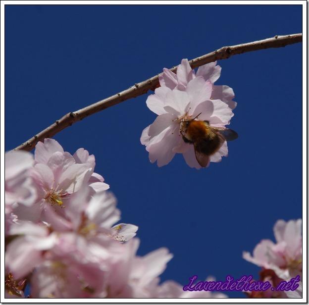 aprl rosa blueten 3