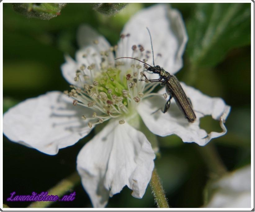 juni insekt