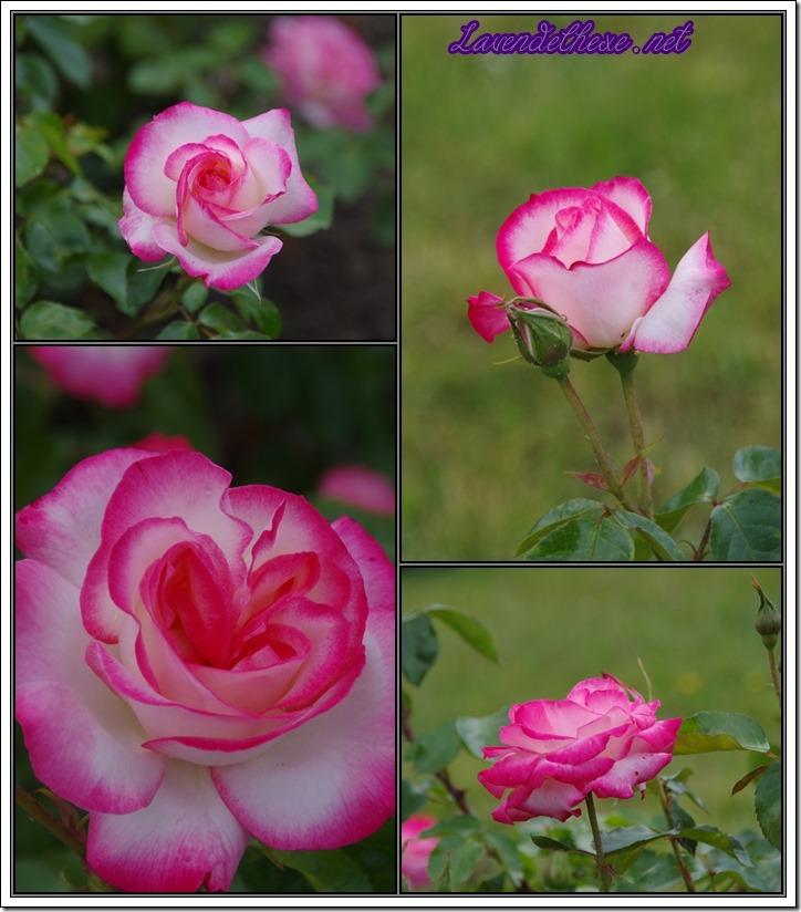 juni rosen1