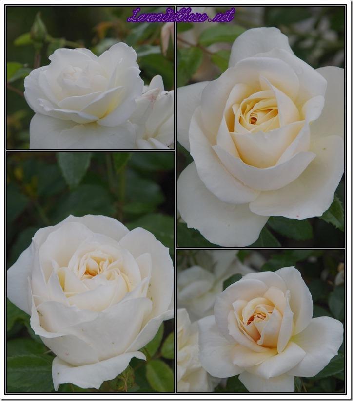 juni rosen2
