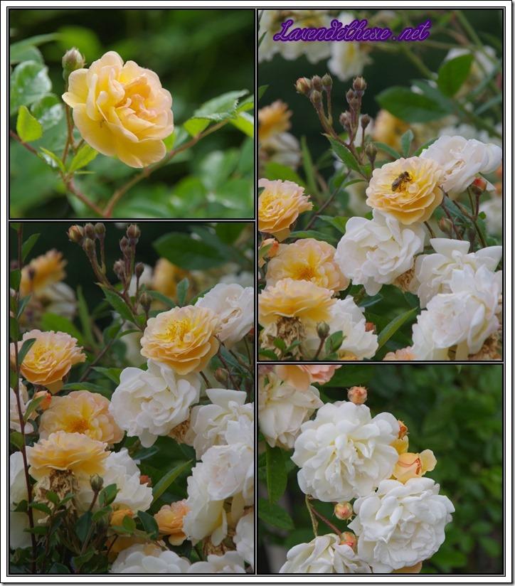 juni rosen3