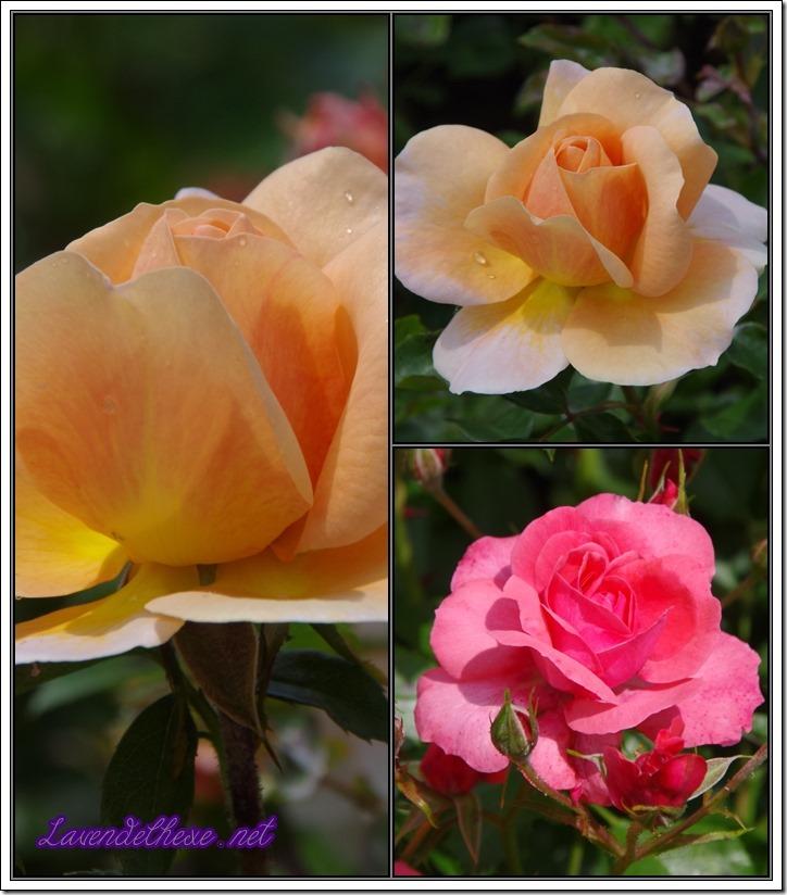 juni rosen5