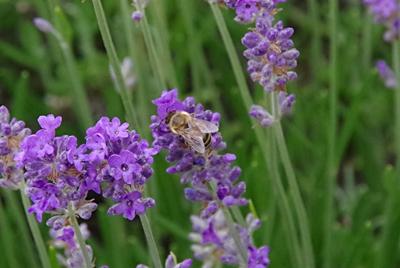 Es ist die Zeit der Bienen und