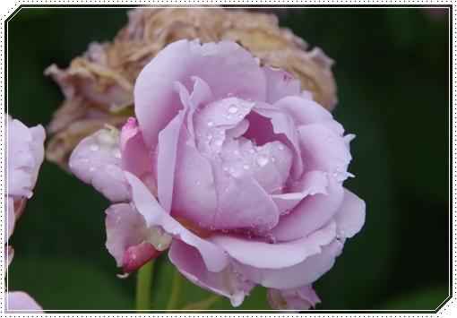 Heute die Rosen