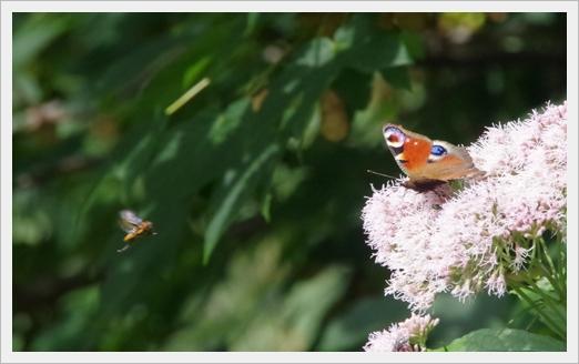 Und wieder Schmetterlinge