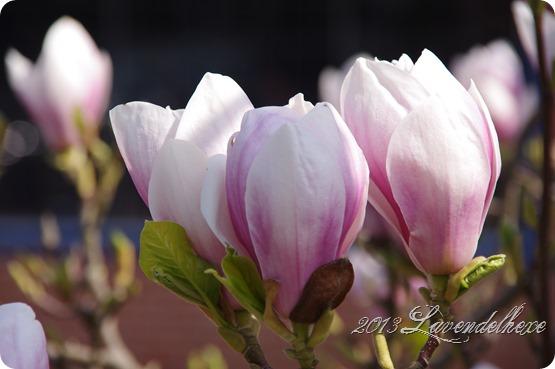 magnolie 003