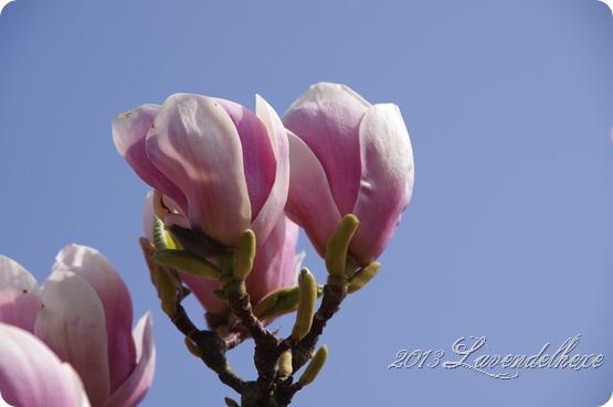 magnolie 005