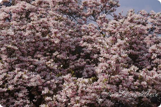 magnolie 013