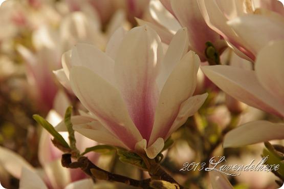 magnolie 029