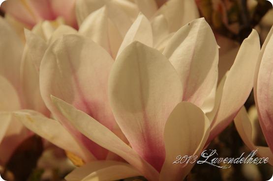 magnolie 034