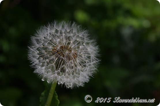 pusteblumen 073