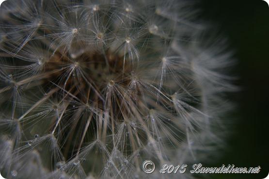 pusteblumen 081